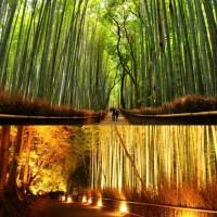 ป่าไผ่ซากาโนะsagano-bamboo-forest
