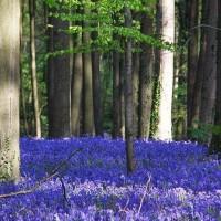 ฮัลเลอร์บอส-ทุ่งดอกบลูเบลไม้สีน้ำเงินสะพรั่ง-ณ-ป่าเบลเยียม
